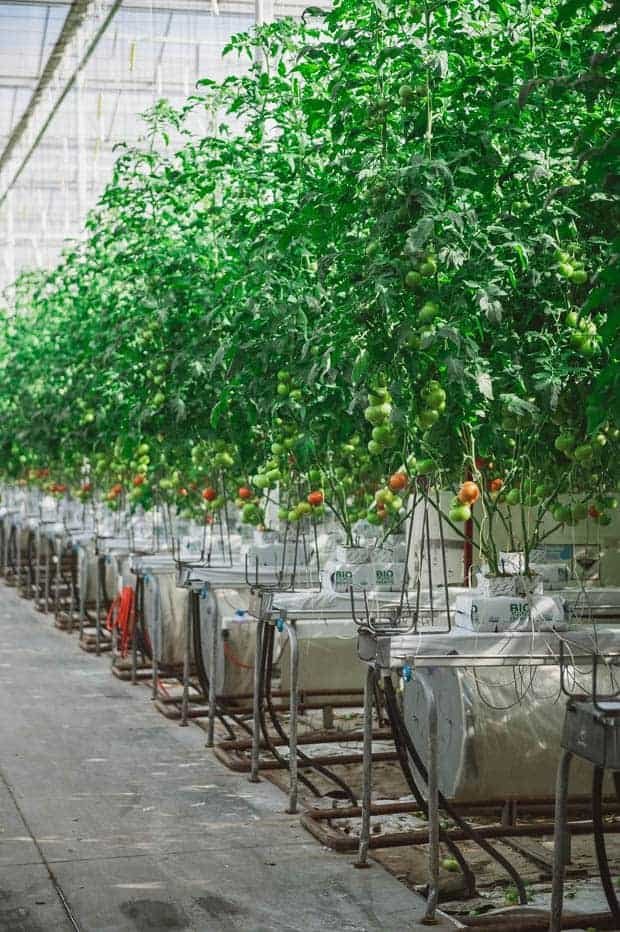 A greenhouse filled with tomatoes