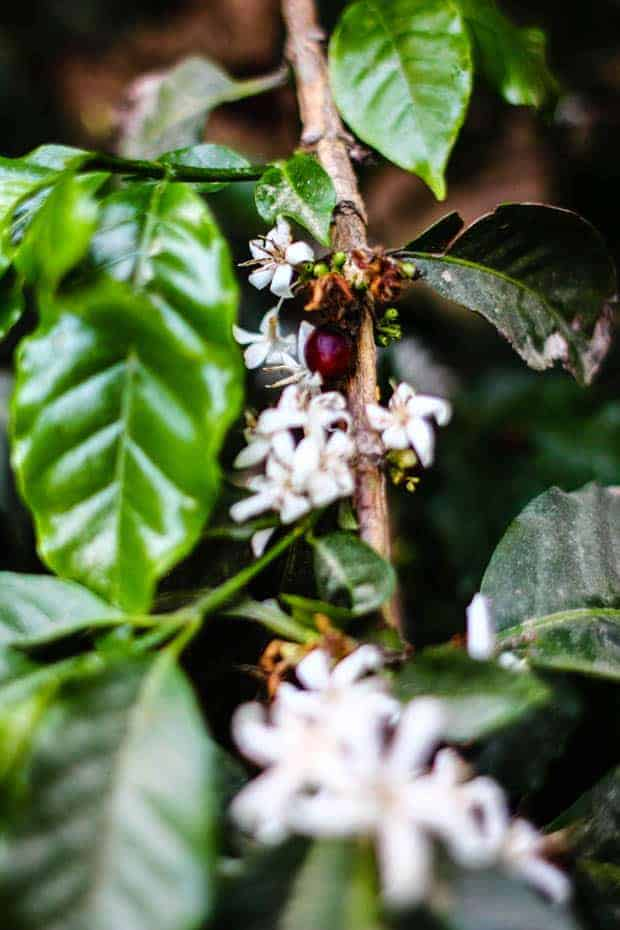 A coffee tree with clusters of small white flowers and a few red coffee cherries.