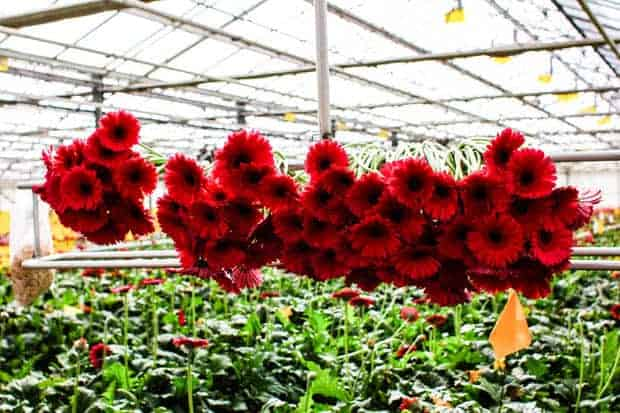 a deep garnet hued bunch of Gerbera daisies, freshly picked and hanging in the green house