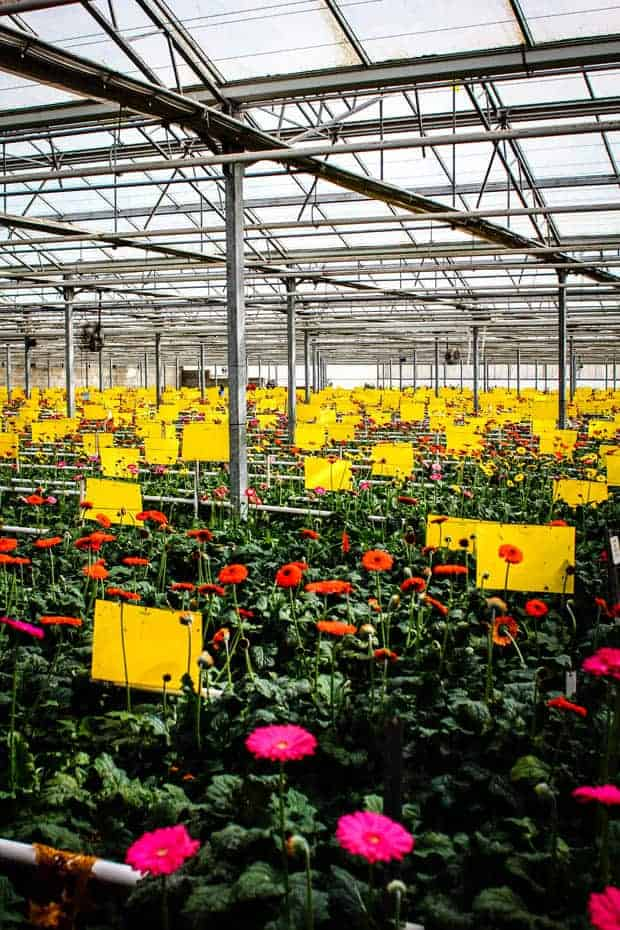 A greenhouse full of red and pink Gerbera daisies