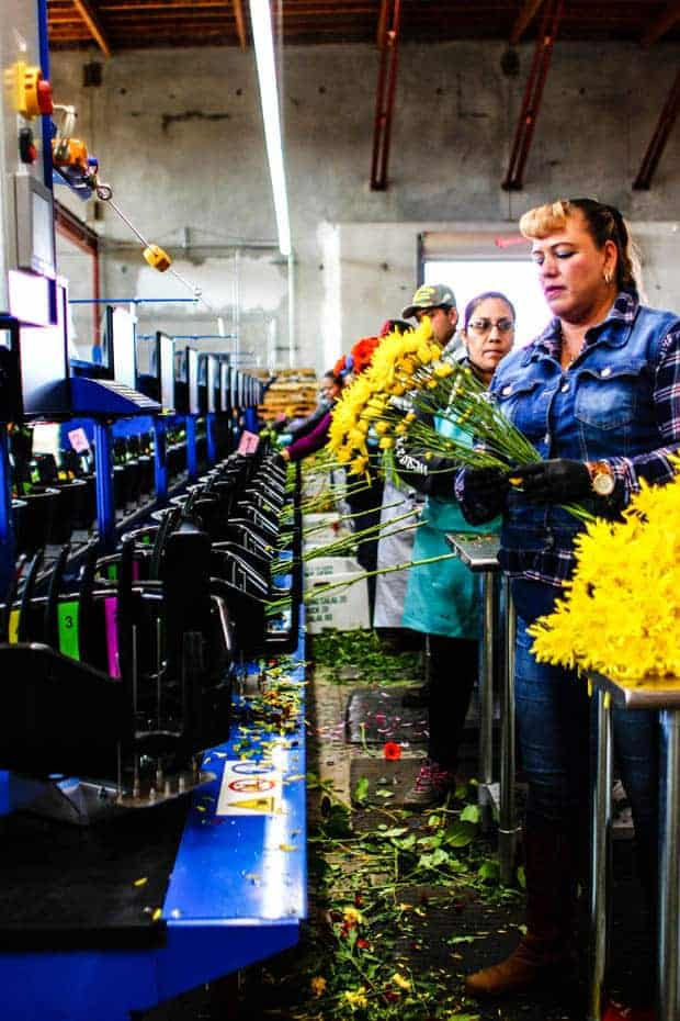 A flower bouquet assembly line with buckets and a conveyor belt.