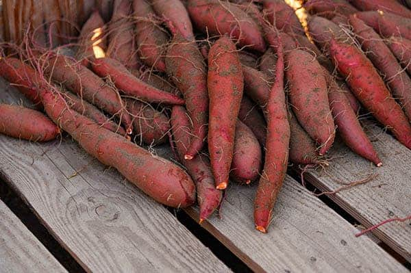 Sweet potatoes after harvest