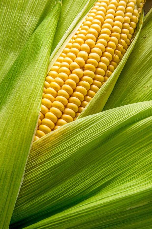 An ear of corn with teh husk peeled back to reveal the kernels.